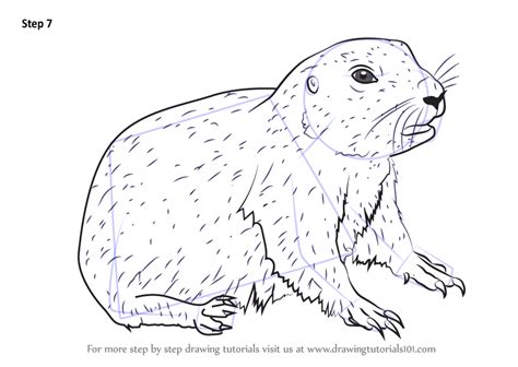 learn   draw  baby prairie dog rodents step