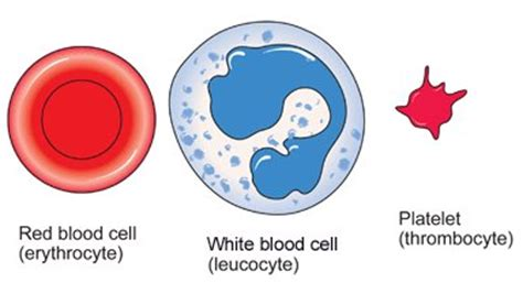 white blood cell diagram for 74 blood cells structure and functions biology notes