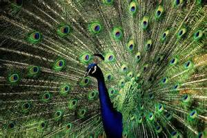Peacock Wall Mural Prideful Peacock Plume Wallpaper Wall Mural Self