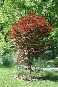 crimson prince japanese maple acer palmatum crimson