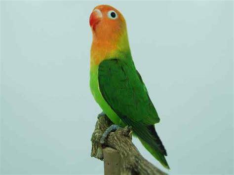 download mp3 lovebird download suara masteran lovebird mp3 binatang peliharaan