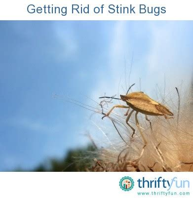 get rid of bugs in house how to get rid of stink bugs in my house 28 images 10 ways to get rid of stink