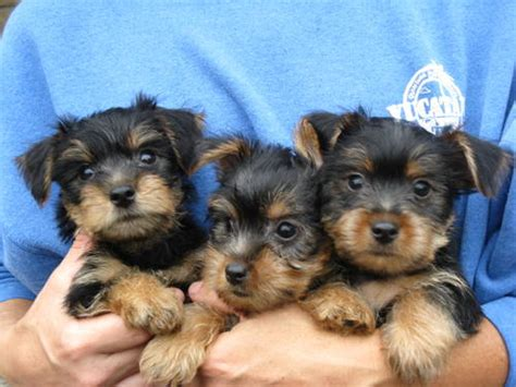 free puppies in fayetteville nc pets fayetteville nc free classified ads