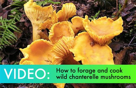 how to find and cook delicious chanterelle
