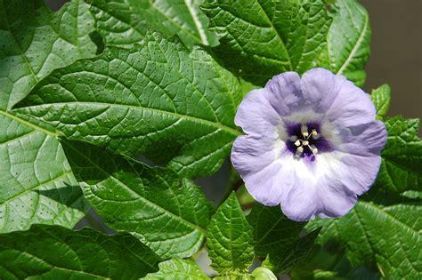 Flower Leaf nicandra