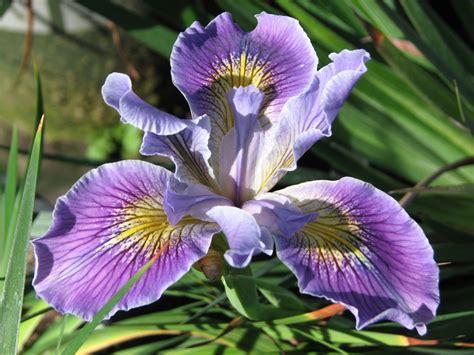 iris douglasiana douglas iris matilija nursery california native plant and iris nursery