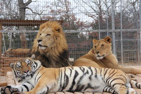 imagenes de leones y tigres peleando zool 211 gicos buenos o malos tigres video historia