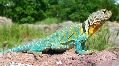 garden lizards eat their own l garden ftempo