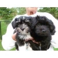 moorea havanese havanese breeders in new york freedoglistings