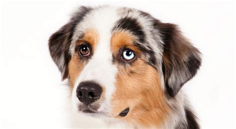mini american shepherd puppies miniature american shepherd breed information american kennel club