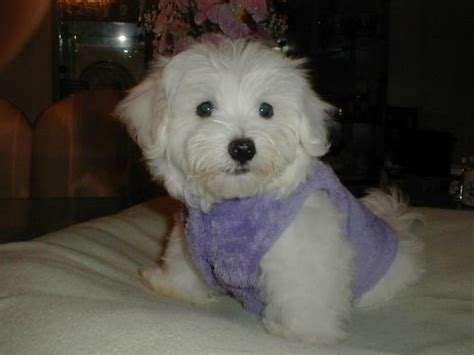 maltese puppies for sale in indiana fishers for sale puppies for sale