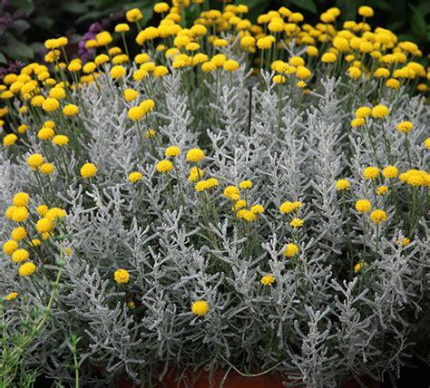 Full Sun Flowering Shrub - buy cotton lavender santolina chamaecyparissus delivery by crocus