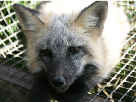 cool animals pictures domesticated silver fox