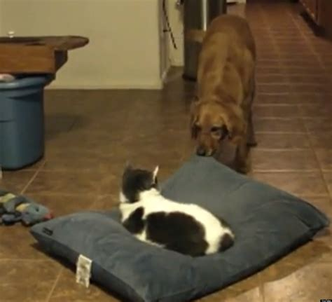 cats stealing beds it s catatonictuesday here s 10 cats stealing beds and dogs stealing cat beds