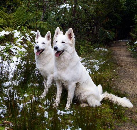 white swiss shepherd puppies eiramor white swiss shepherd dogs