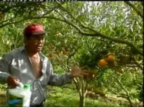 Pupuk Organik Grow More pupuk organik quot di grow quot aplikasi pada pohon jeruk yang
