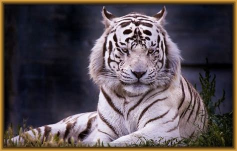 imagenes en 3d de tigres fondo de pantalla tigre blanco hd archivos fotos de tigres