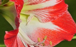 how to get an amaryllis to bloom hometalk