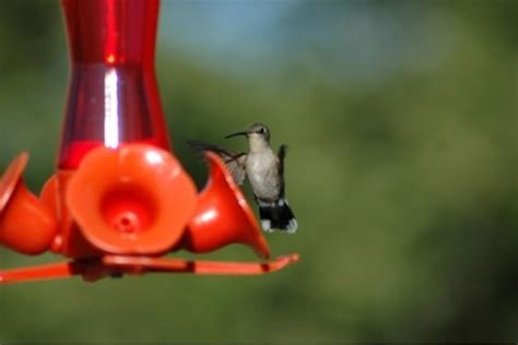 endangered new jersey making hummingbird and oriole nectar