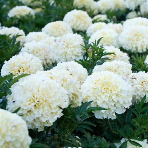 Vanela White marigolds vanilla related keywords marigolds vanilla