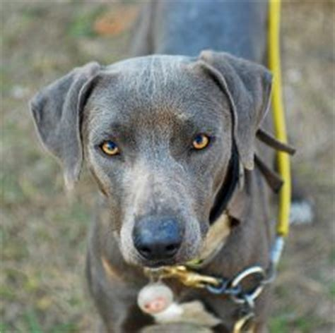 blue lacy puppies blue lacy information health pictures pet paw