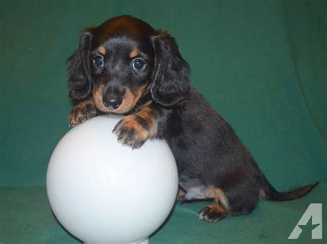 dachshund puppies for sale in tennessee miniature dachshund hair black boy puppy for sale in surgoinsville