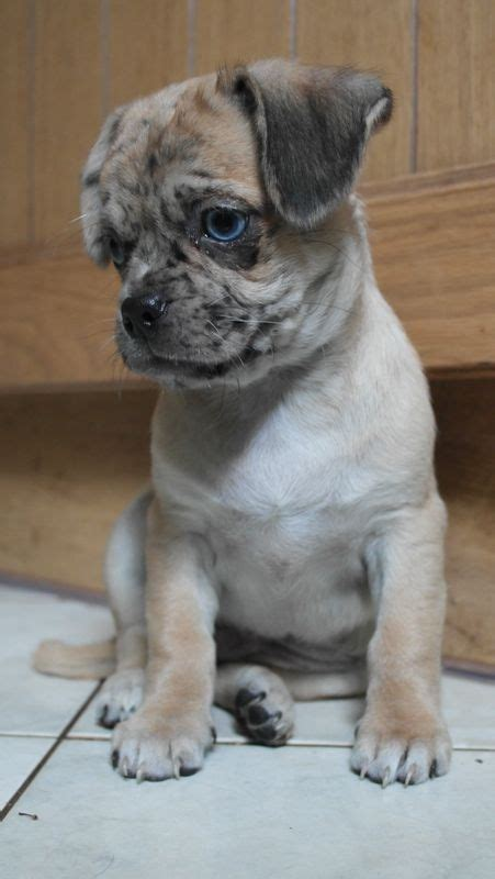 merle pug puppies for sale 3 4 merle pug boy puppy taunton somerset pets4homes