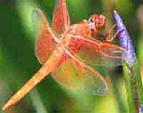 Common Dragonflies Of California dragonflies of california odonata