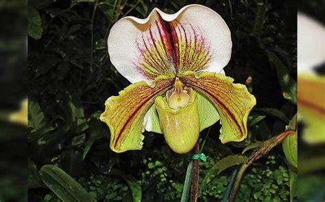 Jenis Jenis Tanaman Anggrek 35 jenis bunga anggrek indonesia lengkap dengan gambar