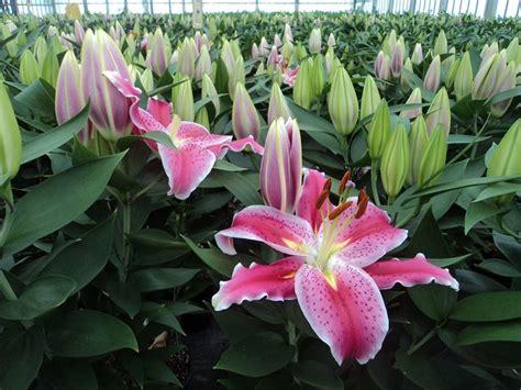 lilium fiori giglio lilium lilium bulbi giglio lilium bulbi