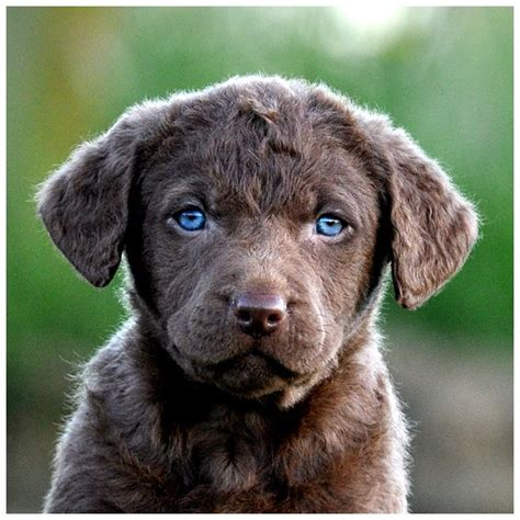 chesapeake puppies chesapeake bay retriever pup lovely things