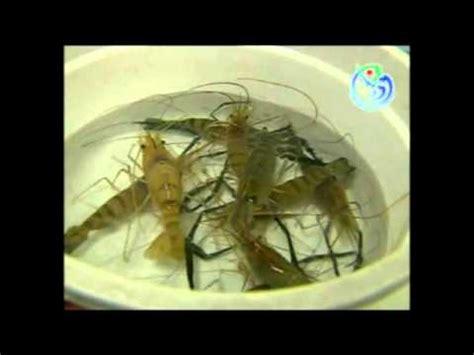 Pakan Udang Vaname Alami teknis sukses budidaya udang air tawar dan budidaya uda