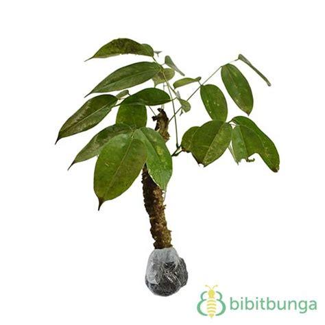 Harga Laevigata tanaman kayu rapet jual tanaman hias