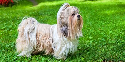 cool shih tzu names 250 fantastic shih tzu names my s name