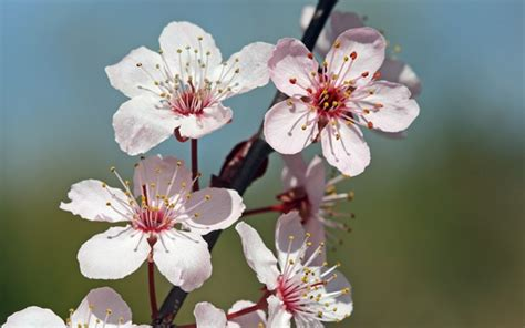 Cherry Blossom Flavor Eliquid For Your Electonic Cherry Blossom Flower