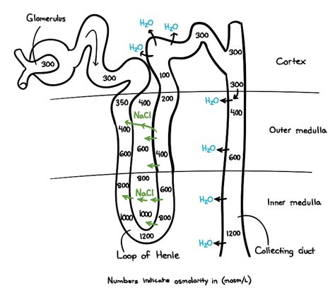 concurrent design adalah nephron diagram quiz image collections how to guide and