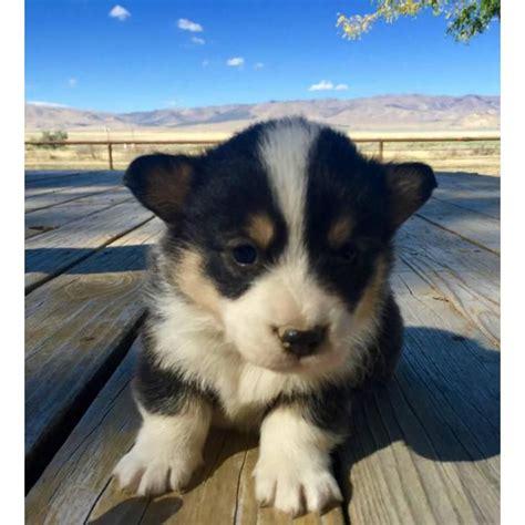 corgi puppies for sale in va best 20 corgi puppies for sale ideas on corgi dogs for sale small puppy