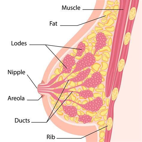 cross section of breast women breast cross section momwoot