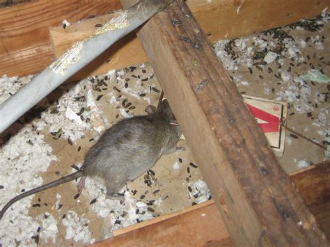 Mice In Pantry by Rat Photograph Gallery Pictures Images