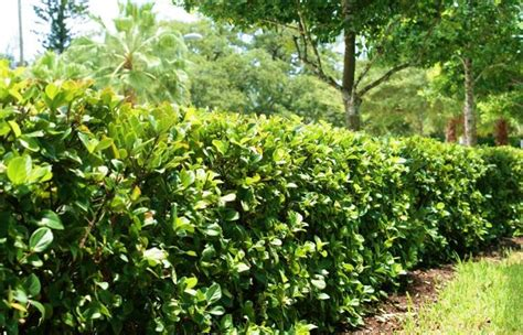 planting your fast growing and evergreen hedge bushes
