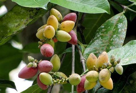 rahasia dibalik kulit  buah melinjo  atasi asam