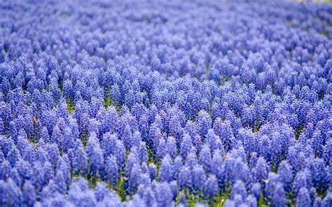 wallpaper of blue flowers blue flower hd wallpapers