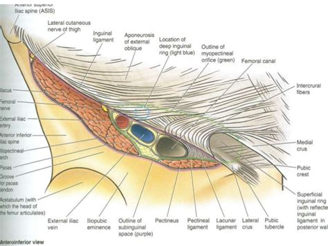 diagram of inguinal canal pics for gt inguinal canal borders