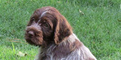 wirehaired pointing griffon puppy wirehaired pointing griffon information characteristics facts names
