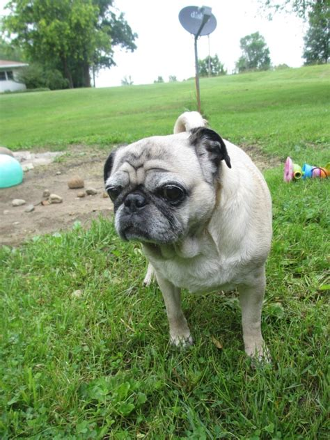 pug beans happy dogs are well behaved dogs 5 ways to keep them happy barkboxday emily reviews
