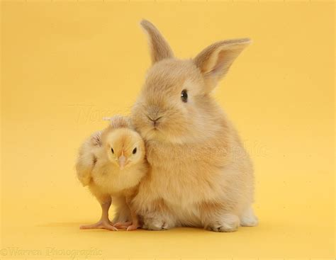 cute rabbits and chicks cute bunny rabbit newhairstylesformen2014 com