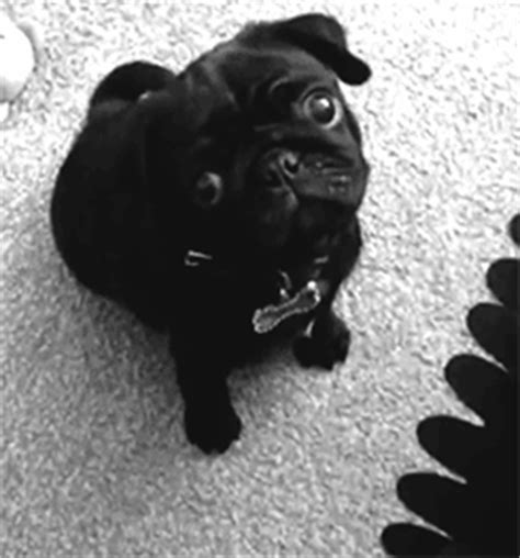 pug noir carlin chien animal mignon cuteness pug noir et blanc black and white image gif anim 233