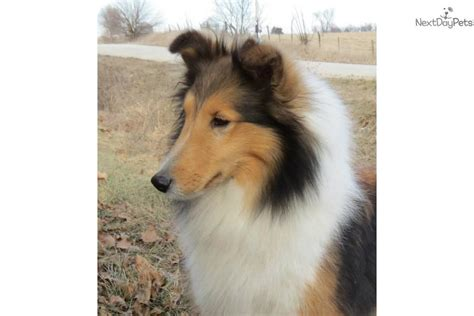 free sheltie puppies free shelties to home breeds picture