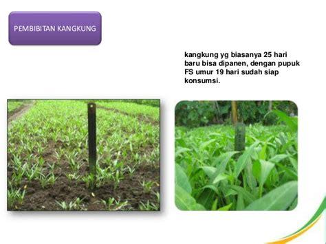 Bibit Cabai Kopay pupuk pertanian feng shou tiens