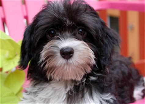 reputable havanese breeders havanese puppies royal flush havanese
